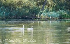 Koppeltje knobbelzwanen - Couple of mute swans (desire van meulder) Tags: birds swans swan vogels zwaan zwanen muteswan knobbelzwaan