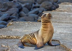Guarding the path (sussexscorpio) Tags: beach path santacruz galapagos seal baby young sunshine island animal outdoor semiaquatic mammal pinniped flippers pup fur sea whiskers