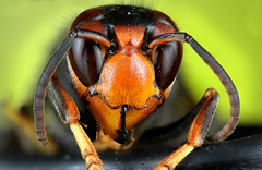 Vespa velutina (Little Boy 09) Tags: vespa velutina canon eos 60d macro stack stacking frelon asiatique head eyes macrodream