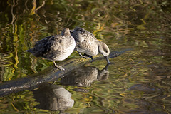 Marbled Teal (Glenn Pye) Tags: marbledteal duck ducks birds bird wildlife nature reflection wwt martinmere nikon nikond7200 d7200