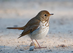 HermitThrush (mbrown IN) Tags: michael brown hermit thrush greene cty indiana heth2734