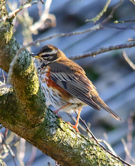 Redwing (badger2028) Tags: turdus iliacus redwing