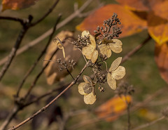 Color of Autumn 2016 In NYC (Foliage and Plant Life In Central Park) (nrhodesphotos(the_eye_of_the_moment)) Tags: dsc0901372 theeyeofthemoment21gmailcom wwwflickrcomphotostheeyeofthemoment colorofautumn2016innyc autumn season nature centralpark manhattan nyc outdoor foliage flowers plantlife landscape bokeh leaves petals depthoffield perspective creative botanicals