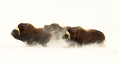 Musk ox in Motion (Explored) (blkwolf1017) Tags: muskox muskoxen tundra snow running prudhoebay alaska canon50d sigma80400mm