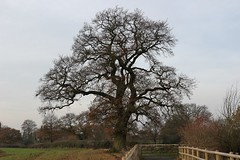 The Mightiest of Oaks -TMT (JP Photography74) Tags: oak tree uk winter staffs england outdoors earth nature countryside