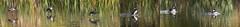 Harle couronné (stefdenis3006) Tags: animauxoiseaux aquatiques grandparcsetespacepublique harlecouronné mâle parcangrignon photostypedetraitement triptyque vol