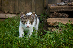 You (paulius.malinovskis) Tags: sony sonya7r summer lithuania countryside nature vacation cottage cat play small kitten young