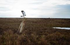 Northern Harrier wide angle (Ian Harland) Tags: