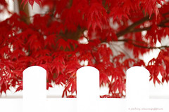 _C0A5900REWS Behind the Fence, © Jon Perry, 18-11-16 zaw (Jon Perry - Enlightenshade) Tags: jonperry enlightenshade arranginglightcom chiswick red maple redmaple vibrant fence white whitefence 181116 20161118