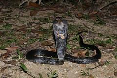 IMG_1199-1(W) Malayan Spitting Cobra (Naja sumatrana) (Vince_Adam Photography) Tags: reptilia reptiles snake snakes elapid elapidae naja oviparous neurotoxin venomous deadly fatal necrosis ularsenduk ularsenduksembur ularbelalang nguhaotongponpit ular ularberbisa bisa maut herps herping hepertology herpetologist herp nightherping nightmacro macro malaysianforest housingestates venomoussnakesofmalaysia snakesofmalaysia snakesofsoutheastasia snakesofasia najasumatrana peninsularmalaysia wildlifeofmalaysia reptilesofmalaysia blackspittingcobra malayanspittingcobra goldenspittingcobra equatorialspittingcobra