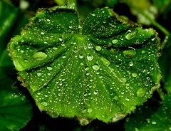 They Are Leafall Water Droplets (KirbyMD) Tags: macro water photography droplets leaf nikon flickr waterdroplets d600 kirbymd