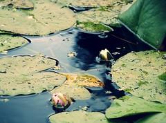 (Marie EG) Tags: summer flower water skne
