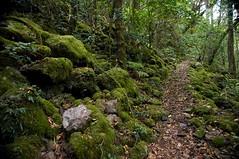 Walk in rainforest of Main Range national park.    ... (Tatters ) Tags: green forest nationalpark moss rainforest track hiking australia qld queensland mainrange mainrangenationalpark