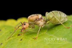 Ant (Formicidae) - DSC_9513 (nickybay) Tags: macro singapore ant formicidae zhenghuapark