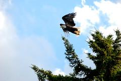 Bald Eagle Flight (sdiver35) Tags: usa lake power eagle flight maine baldeagle junior strength birdsofprey penobscot