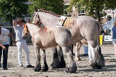 DSC_2226 (Ton van der Weerden) Tags: horses horse dutch de cheval belgian nederlands belges draft chevaux belgisch trait ijzendijke trekpaard trekpaarden fievantrietenhof