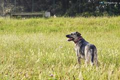 A Corua - 13-07-2013 (DNS Fotografa) Tags: light dog naturaleza sun art nature de photography photo spain corua europe foto minolta photos sony sigma dani perro galicia konica 28 fotografia alpha 70200 maxxum a77 hsm nidazo
