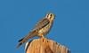 American Kestrel (Amy Hudechek Photography) Tags: bird colorado loma americankestrel happyphotographer highlinelake amyhudechek