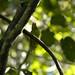 "Dusky-billed Parrotlet • <a style=""font-size:0.8em;"" href=""http://www.flickr.com/photos/101688182@N03/9772598993/"" target=""_blank"">View on Flickr</a>"
