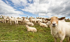 sheeps , just sheeps ... (Alex Verweij) Tags: green grass canon groen sheep label cotton 7d gras curious dijk polder sheeps oren schapen wol oor schaap 10mm eemnes vacht groothoek grazen oorlabel alexverweij eemnesserpolder niuewsgierig