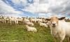 sheeps , just sheeps ... (Alex Verweij) Tags: green grass canon groen sheep label cotton 7d gras curious dijk polder sheeps oren schapen wol oor schaap 10mm eemnes vacht groothoek grazen oorlabel alexverweij eemnesserpolder niuewsgierig