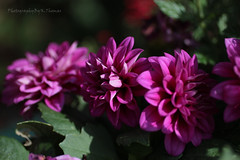Dahila (thomask8) Tags: pink dahlia flowers summer plants flower color macro green nature floral canon garden outdoors photography spring colorado colorful bokeh ngc bloom wildflowers blooming naturescenes gardennature simplyflowers mygardenschool