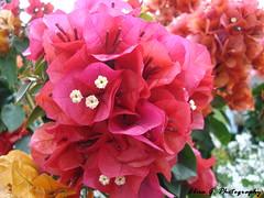 Festa dei Fiori (Elisa Gennaro) Tags: voyage travel flower tree verde green primavera nature fleur spring europa europe natura fete fiori festa fiore albero printemps viaggio bois alessandria