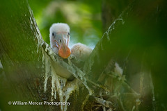 Messiest Nest Ever (WilliamMercerPhotography) Tags: wild baby cute bird nature animal outdoors florida wildlife messy spoonbill roseatespoonbillplataleaajaja southernhobbyist roseatespoonbillplataleaajajachick