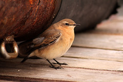 Northern Wheatear (Oenanthe oenanthe) (Jeremy Gatten) Tags: newfoundland offshore rare vagrant grandbanks migrant oenantheoenanthe northernwheatear