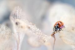 Hydrangea lady (Mandy Disher) Tags: red black spots ladybird ladybug hydrangea sevenspot coccinellidaeseptempunctata