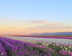 Lompoc Field of Flowers at Sunset (grandmasandy+chuck) Tags: flowers sunset explore droh dailyrayofhope