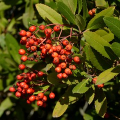 Almost ripe berries of native Toyon aka California Holly or Christmas Berry (Heteromeles arbutifolia, Rosaceae) (Treebeard) Tags: california berry santabarbaracounty rosaceae toyon sanmarcospass christmasberry heteromelesarbutifolia californiaholly
