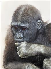 Pawn to King 4? (rexboggs5) Tags: california park ca wild animal san chimp diego safari chimpanzee thepinnaclehof kanchenjungachallengewinner compsfcg1213tp1213 tphofweek233