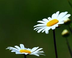 Wild Daisies (Explored) (murtphillips) Tags: flower june martin phillips 2010 murt herbertstown
