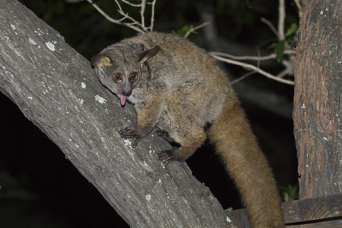 Greater Galago, Brown Greater Galago, or Thick-tailed Bushbaby, Otolemur crassicaudatus