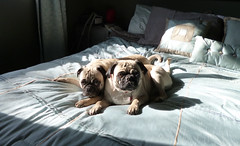 Sunbeam 05 (wooferSTL) Tags: puppies pugs sunbeam