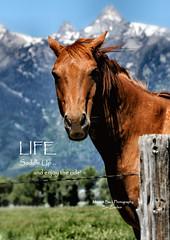 LIFE ... (Aspenbreeze) Tags: horse mountains animal fence wyoming prairie stallion fencepost roanhorse aspenbreeze moonandbackphotography bevzuerlein