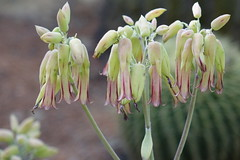 GREEN-WORLD (ddsnet) Tags: plant succulent sony hsinchu taiwan cybershot     peipu greenworld rx10