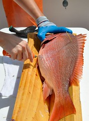 Venting a Red Snapper (MyFWCmedia) Tags: 2013 catchandrelease divisionofmarinefisheries dmfm equipment fish fishhandling fishing florida floridafishandwildlife fwc gonecoastal myfwc myfwccom redsnapper saltwater snapper venting wildlife angler research