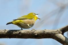 Japanese White-eye (myu-myu) Tags: bird nature japan nikon japanesewhiteeye zosteropsjaponicus 目白 wildbird 野鳥 メジロ triadicasebifera d300s teleconvertertc17eii aiafsnikkor300mmf4difed ナンキンハゼの実