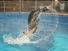 Sea lion backflip (Katie.Hostad) Tags: animals zoo sealion cleethorpes pleasureisland backflip californiasealion 2014katiehostad