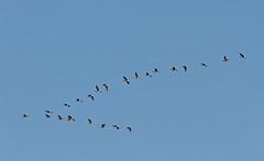 V (NLHank) Tags: holland bird nature netherlands dutch birds wildlife nederland vogels natuur gans ganzen wanneperveen vogel wieden