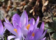 Angebote (deta k) Tags: flowers macro berlin germany deutschland spring flora natur pflanzen blumen bee frhling blten bienen krokusse nikond5100