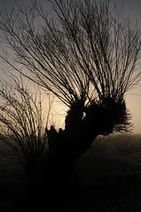 Am Fnfmhlendeich - Kopfweide (Salix sp.); Meggerdorf, Stapelholm (1) (Chironius) Tags: morning trees tree fog germany deutschland dawn weide rboles nebel alba sauce boom amanecer arbres willow rbol alemania dmmerung albero bume allemagne arbre rvore morgen niebla baum brouillard trd germania ochtend schleswigholstein matin gegenlicht  morgens wilg salice mattina salix aube ogie aa  pomie saule morgendmmerung  morgengrauen osier st   niemcy dageraad     stapelholm salcio meggerdorf pomienie marsault szlezwigholsztyn