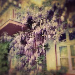 Glycinia (Casey Hugelfink) Tags: flowers house window bayern bavaria balcony glyzinie badaibling glycinia