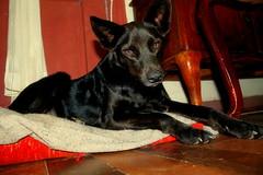 Suu (T o r n a s o l a r ) Tags: chile dog chien cane hond perro hund canino hermosa  mascotas  kpek  quilpue mejoramigo