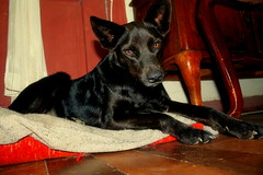 Suu (T o r n a s o l a r ☀) Tags: chile dog chien cane hond perro hund canino hermosa 犬 mascotas 狗 köpek собака quilpue mejoramigo ドッグ สุนัข σκύλοσ