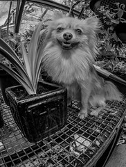 In mono, Boo the Pomeranian. (CWhatPhotos) Tags: pictures camera portrait plants dog pet brown white fish black cute eye monochrome face animal digital pen garden that lens lite four photography mono pom focus foto with view image artistic pics dwarf sandy wide picture down pic olympus images boo fisheye have photographs photograph fotos lie micro rest manual pomeranian lying 35 olympuspen which spitz fit contain 43 thirds pompom f35 75mm mft samyang esystem sanyang zwergspitz thelittledoglaughed cwhatphotos ldlportraits epl5 dwarfspitz