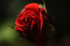 Bocciolo (Laralucy) Tags: red flower macro verde closeup ngc natura fiore rosso bocciolo rosarossa fuocoselettivo magicunicornverybest coth5 magicunicornmasterpiece