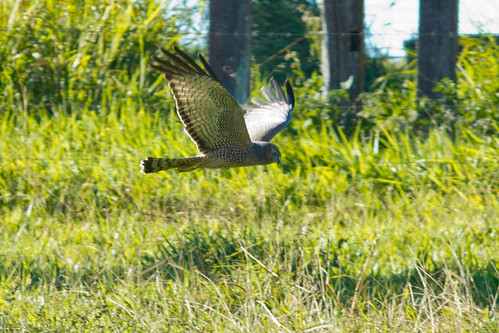 Spotted Harrier 130628 IMG_4225